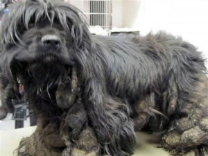 Rescued cocker matted in feces
