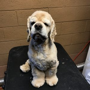 Cocker spaniel after bath and trim