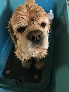 A wet cocker spaniel in bathtub