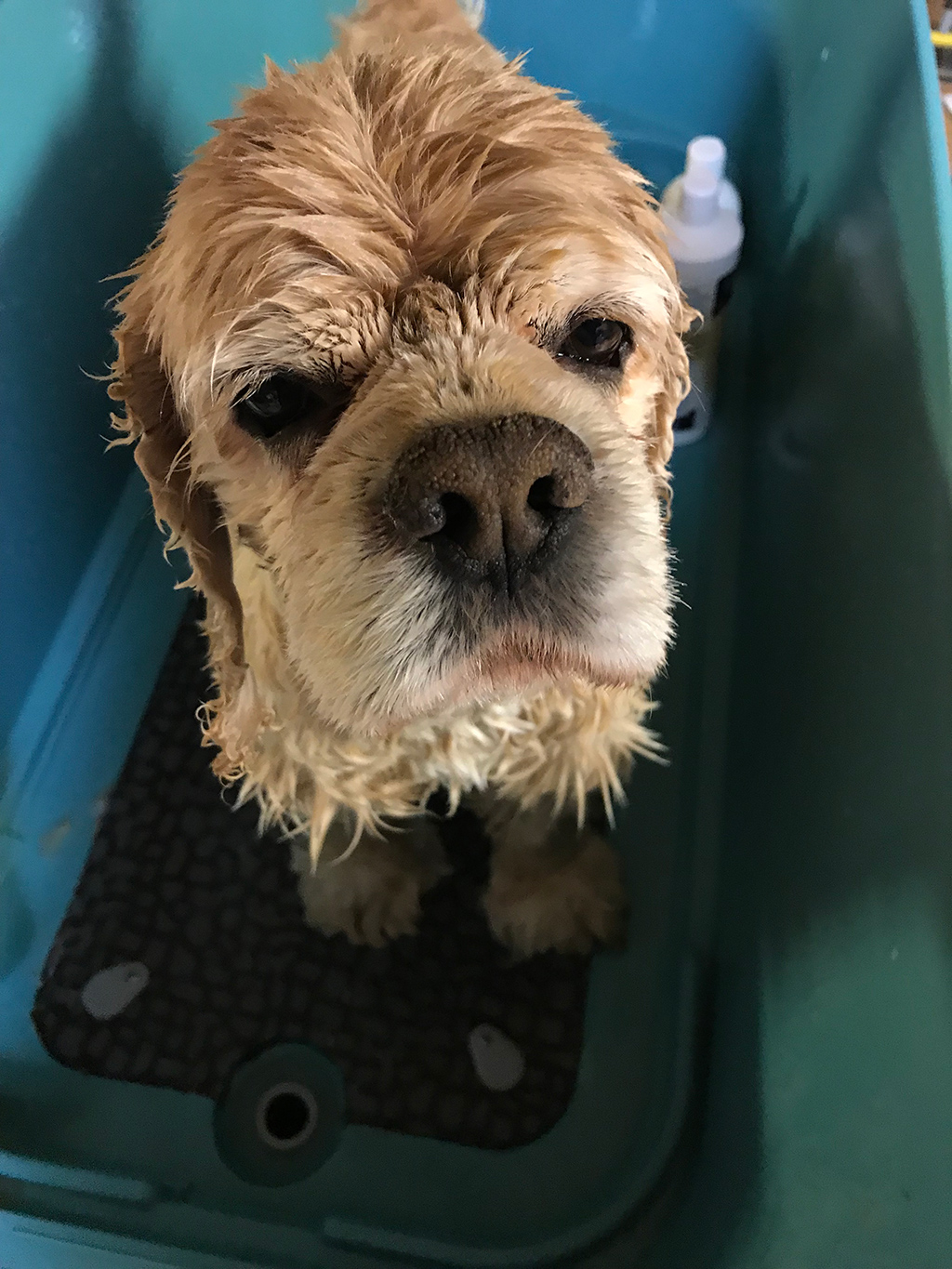 A wet cocker spaniel in bathtub