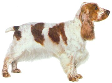 English Cocker Spaniel picture