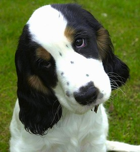 Jessie: An English Cocker Spaniel